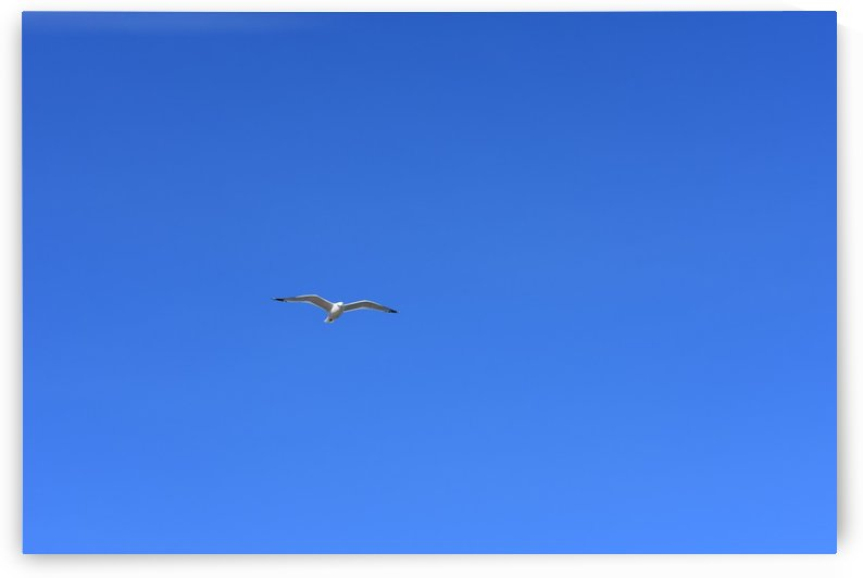 Hovering Seagull by Cameraman Klein