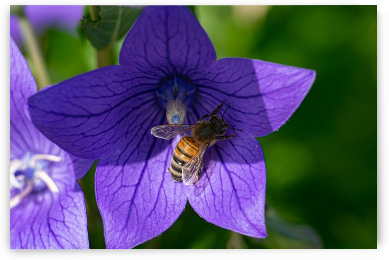 Pollinating Bee by Cameraman Klein