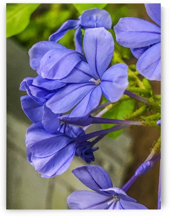 Purple Flowers by Shay Morrow