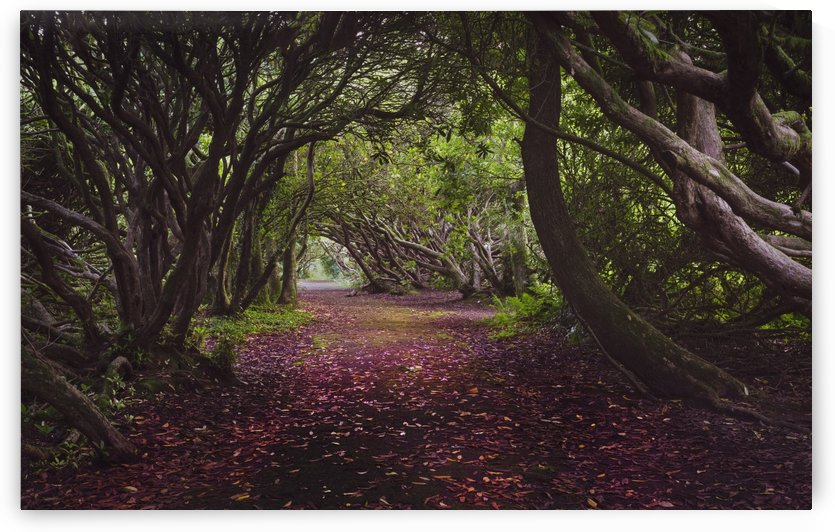 Rhododendron arched walkway by Leighton Collins