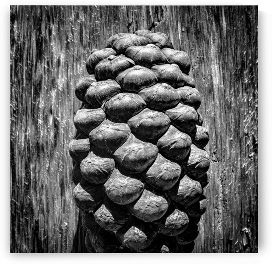 The Pine Cone by Sebastian Schuster
