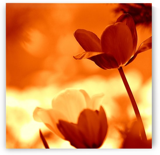 Tulips Orange by Joan Han