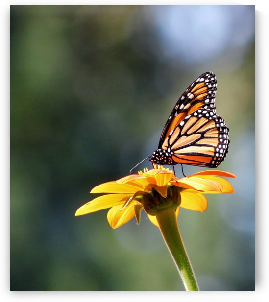Butterfly on single flower by Connie Maher