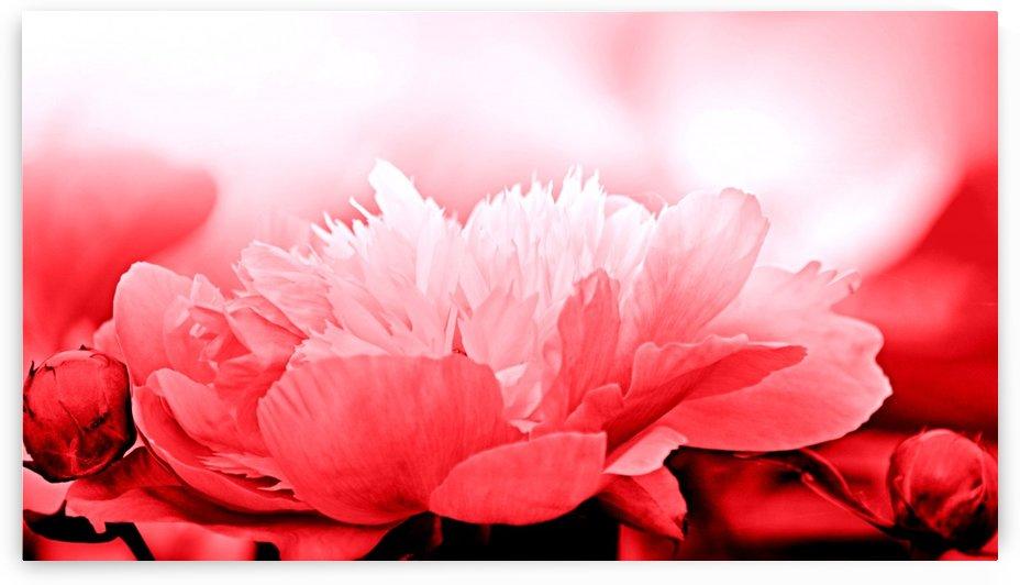 Heavenly Peony Red by Joan Han