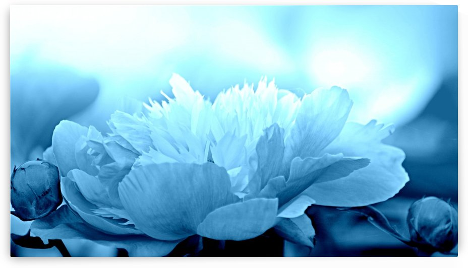 Heavenly Peony Aqua Blue by Joan Han