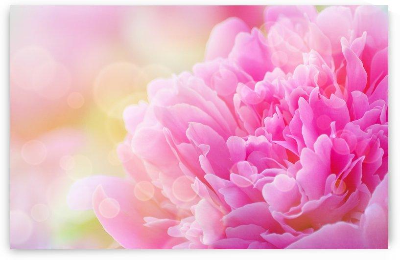 Pink Dream by Joan Han