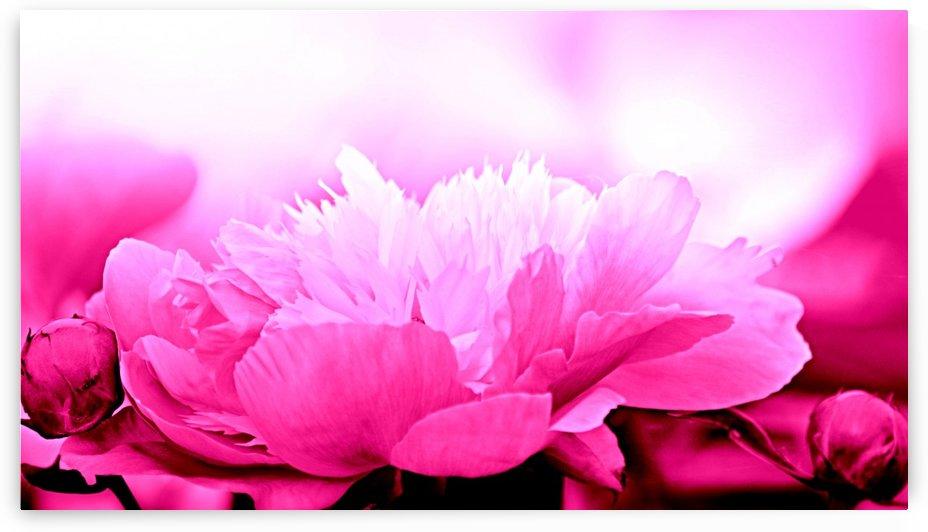 Heavenly Peony Pink by Joan Han