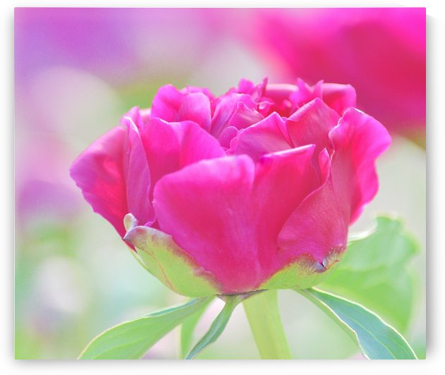 Young Peony by Joan Han
