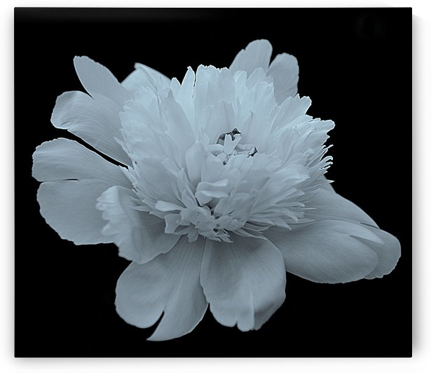 Peony IV Black and White by Joan Han