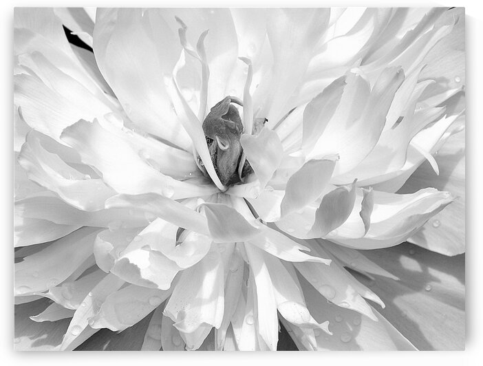 Peony Black and White by Joan Han