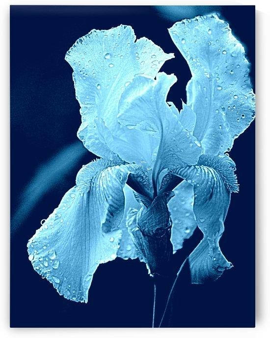 Iris Aqua Blue  by Joan Han