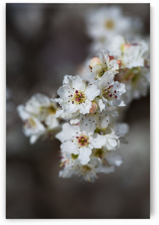 White Lux Blossom by Joy Watson