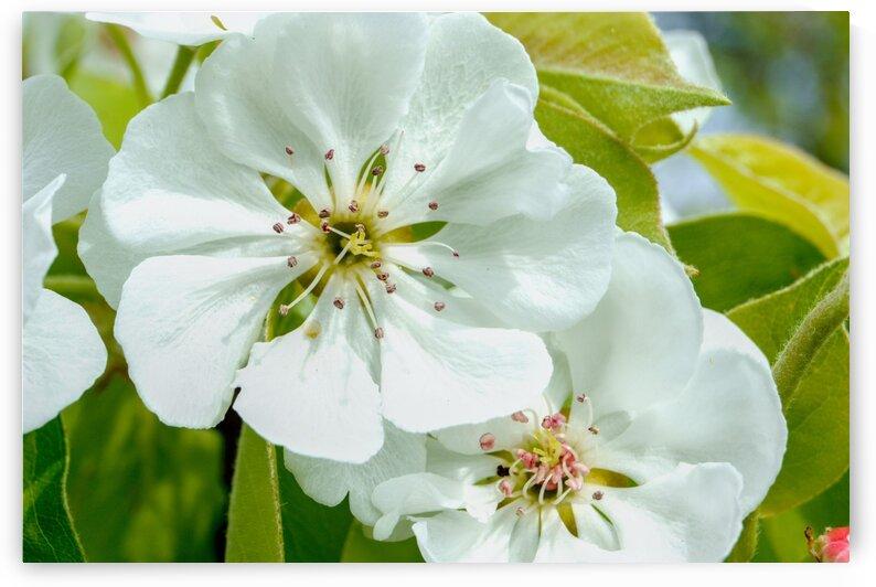 Pear Blossom - No. 1 by RDCushing