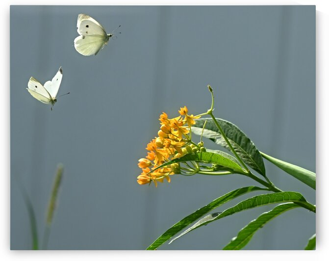 Little White Wings II. by H.Hart Photography