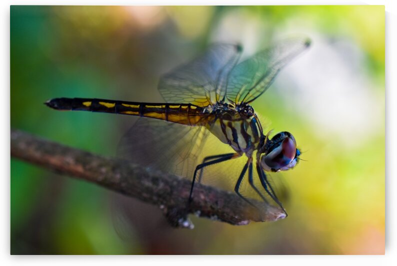Dragonfly by Tyler Smith