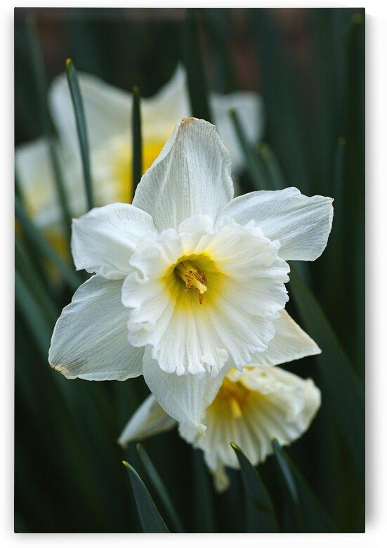 White Cupped Daffodils by Joy Watson