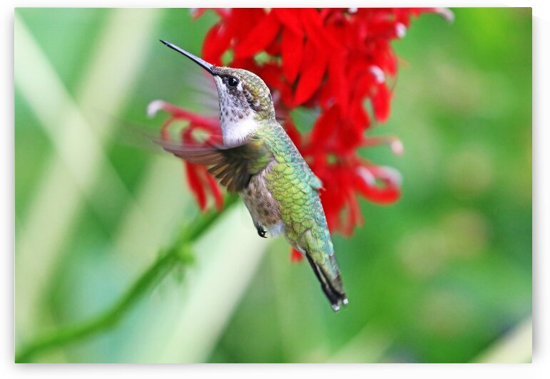 Hummer In Hovering Mode by Deb Oppermann