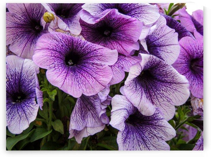 Purple Flower by Dan Edel