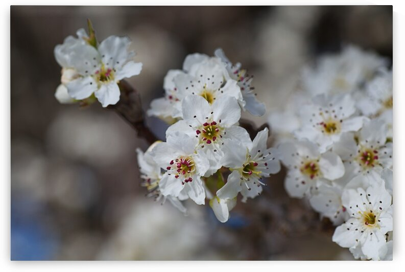 The White Blossom by Joy Watson