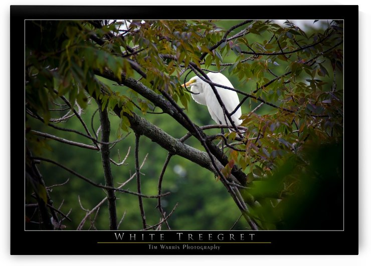 White Treegret by Tim Warris Photography