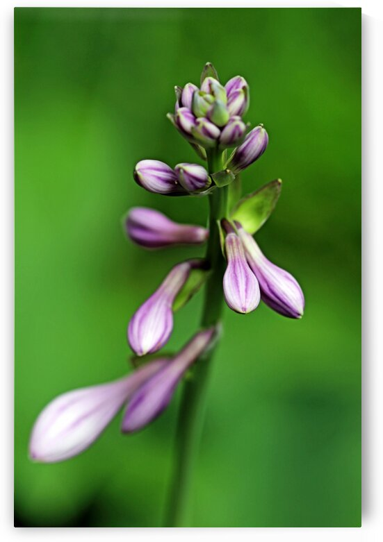 Purple Hosta Buds by Deb Oppermann