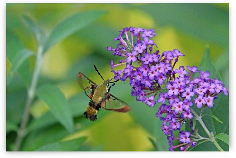 Hummingbird Moth And Buddleia by Deb Oppermann