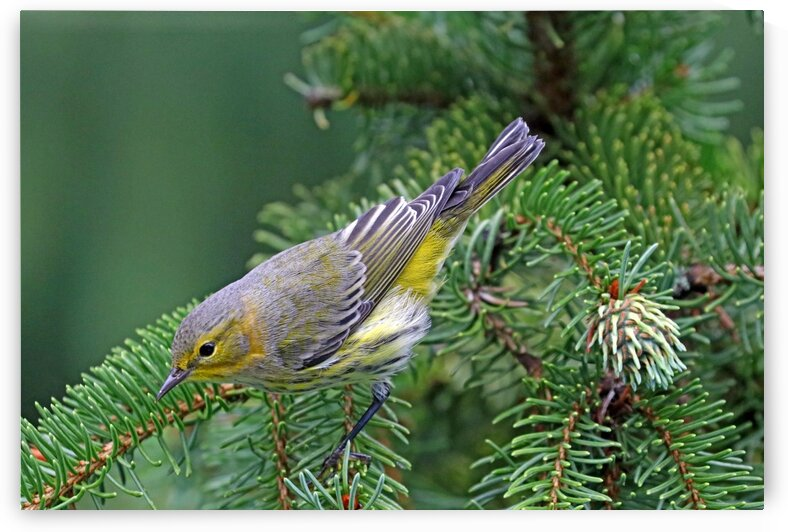 Cape May Warbler In Spruce Tree by Deb Oppermann