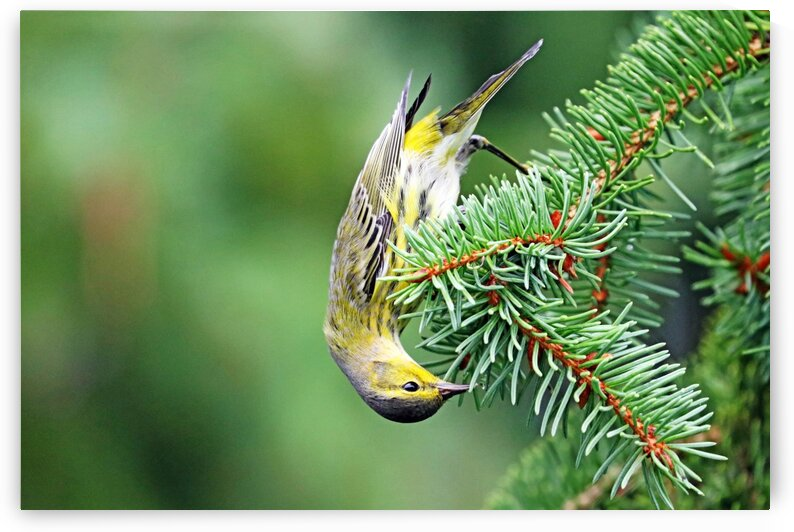 Upside Down Cape May Warbler by Deb Oppermann