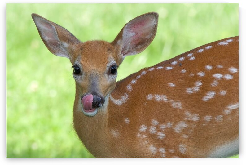 Bambi by Chris Seager