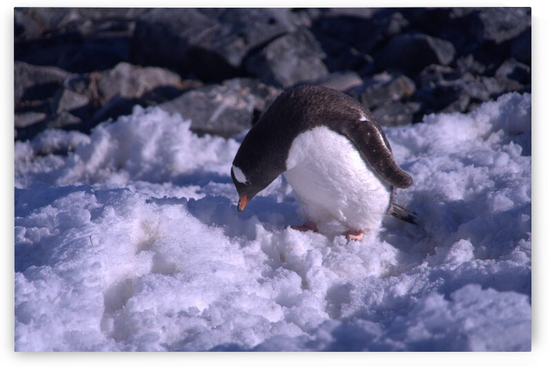 Antarctica penguins  by VantagePoint