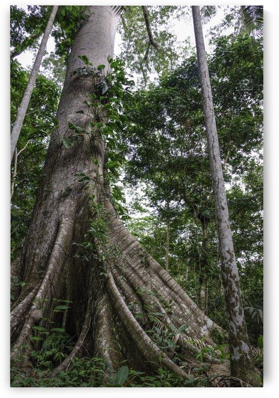 AmazonRainforestTree by Matheus Uhlmann