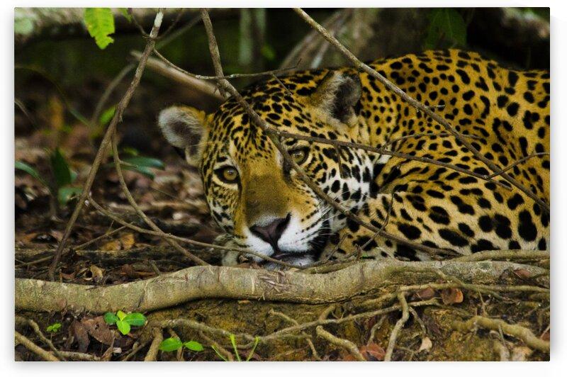 JaguarAmazingEyes by Matheus Uhlmann