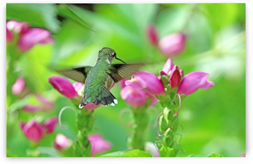 Pink Turtlehead And The Hummingbird by Deb Oppermann