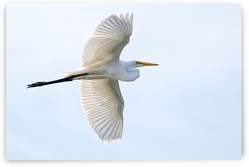 Great Egret by Chris Seager