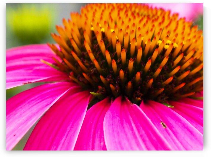 Cone Flower by Lisa Drew Minneapolis Photo Artist