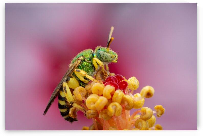 Sweat Bee by MACRO HOBBY MIAMI