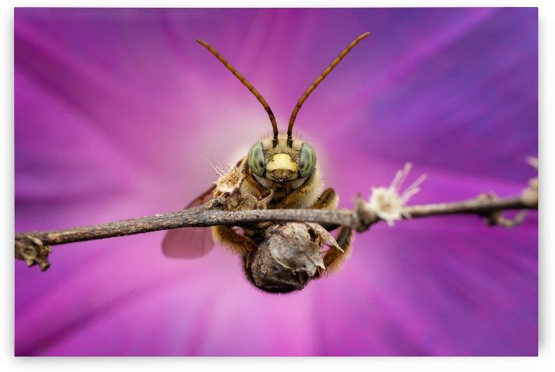 Long-horned bee by MACRO HOBBY MIAMI