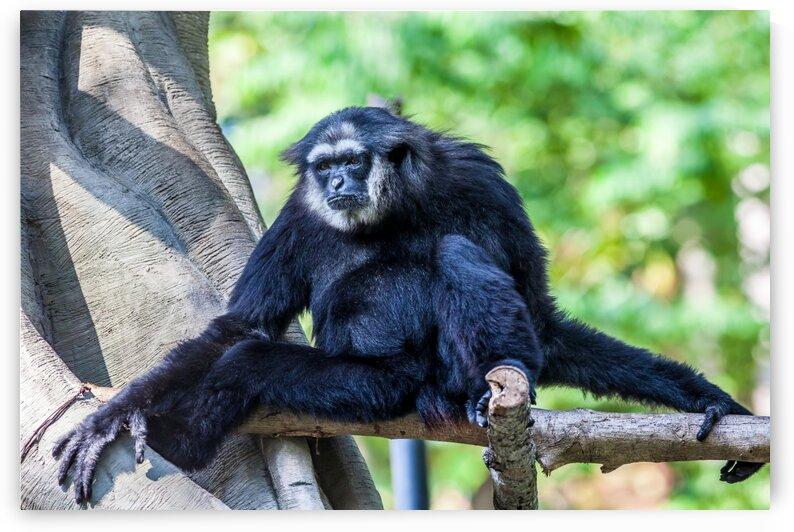 Northern Black cheeked gibbon by Marcel Derweduwen
