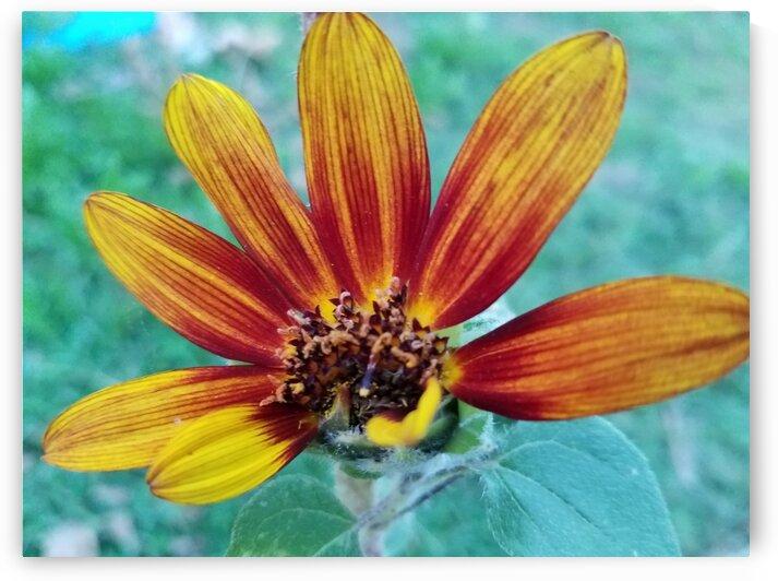 Sunflower Petals by Amy Joy Elizabeth Pearl