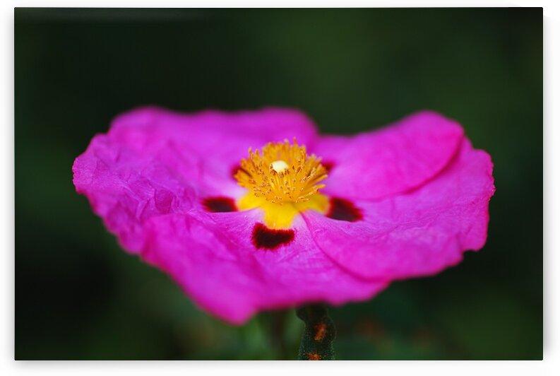 The Australian Hibiscus Desert Rose by Joy Watson