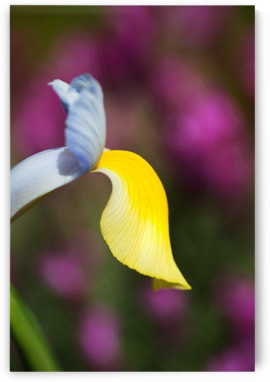 Dutch Iris Symphony Flower by Joy Watson