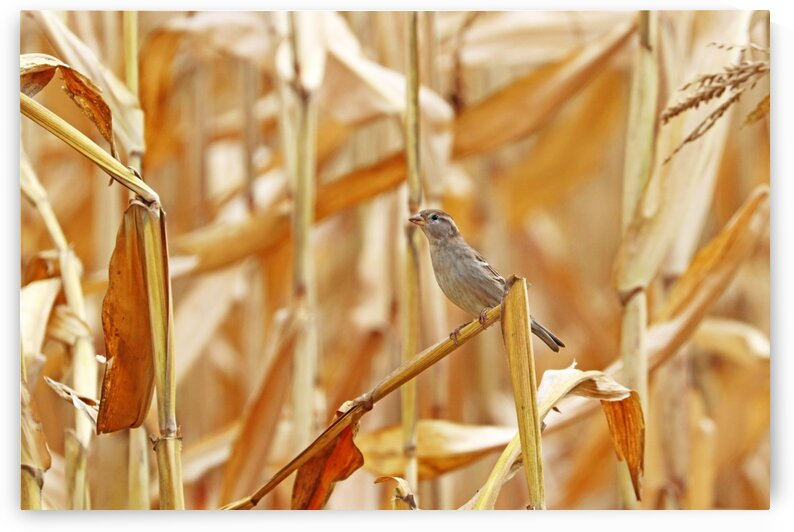 Female House Sparrow Looking Elegant by Deb Oppermann