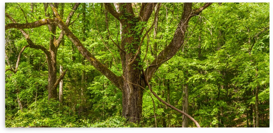 Trees in a Forest Panorama by Bobby Twilley Jr