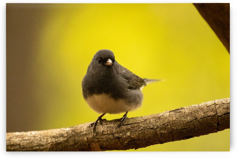 Dark-eyed Junco by Dylan Brew Photography