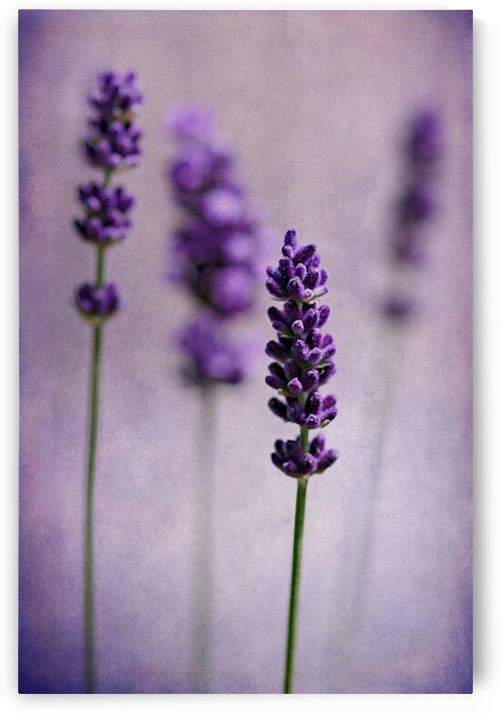 Lavender by Barbara Corvino
