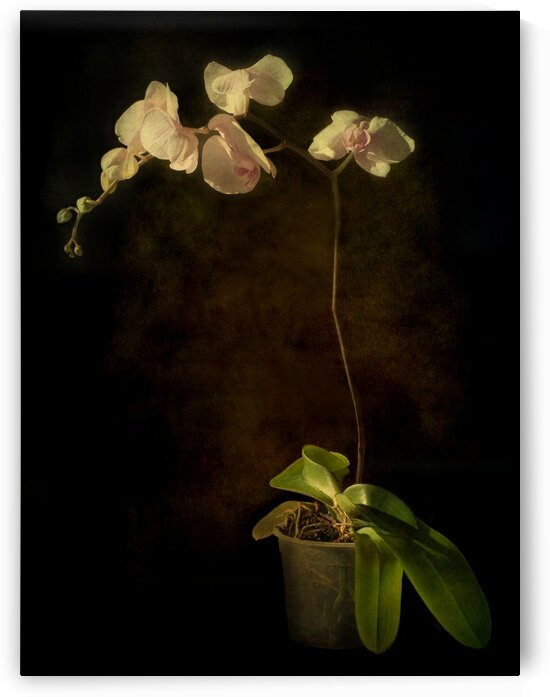 Orchid by Barbara Corvino