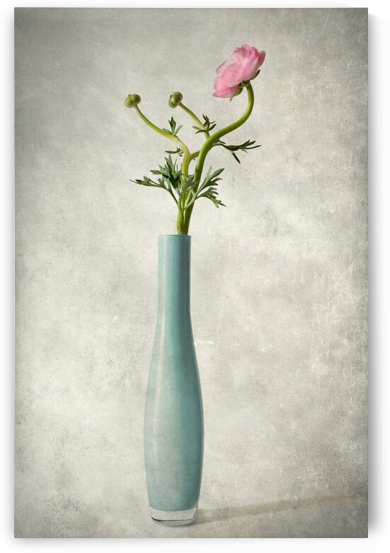 Pink buttercup by Barbara Corvino