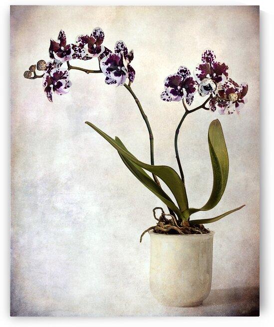 Purple orchid by Barbara Corvino