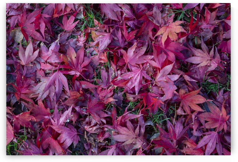 Acer leaves in Autumn by Leighton Collins
