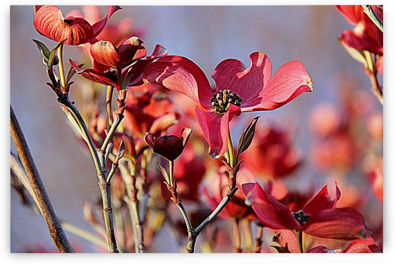 Pink Dogwood in Sunset by Vinka Perzina Photography